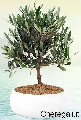 Bonsai di olivo for Acquisto piante olivo
